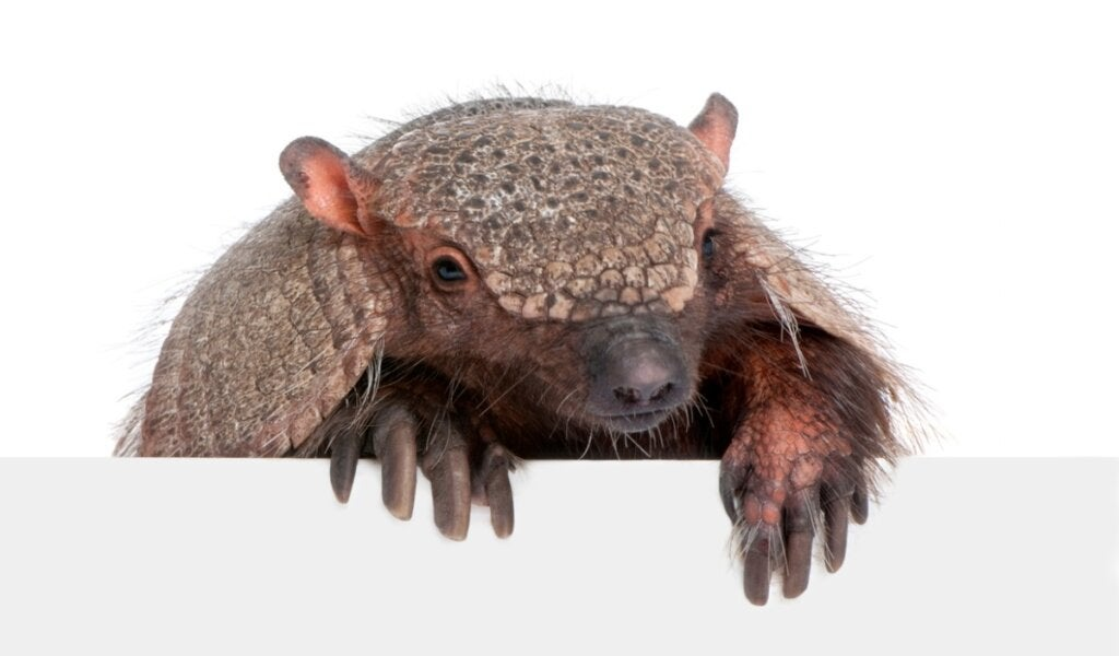 10 Curiosities About Armadillos