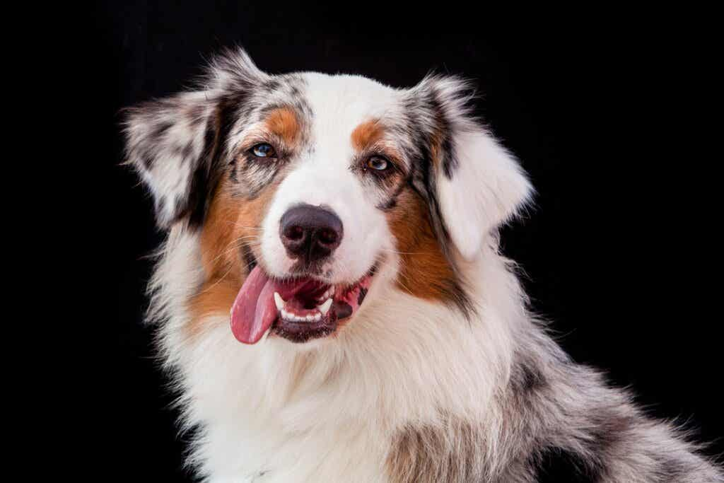 Differences Between The Border Collie and the Australian Shepherd