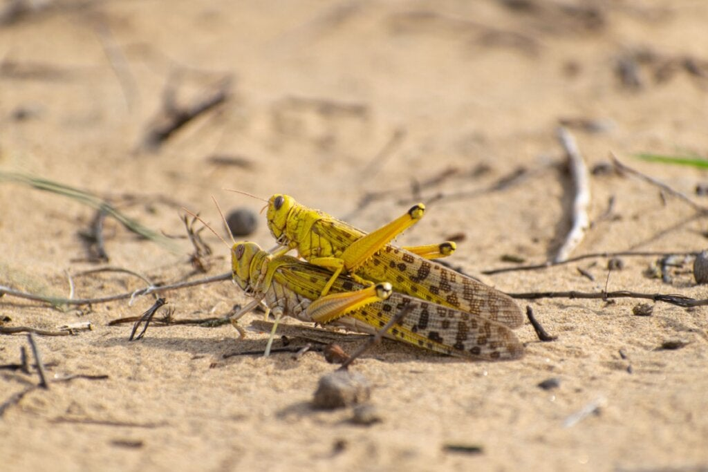 10 Curiosities About Locusts