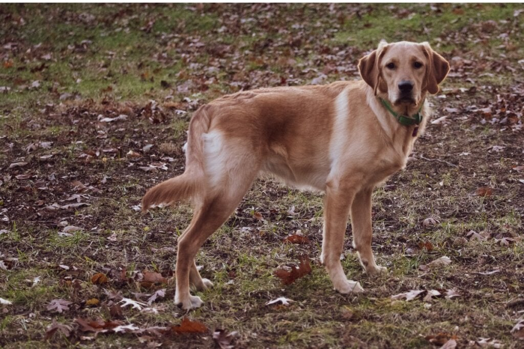 Golden Labrador: All About this Breed