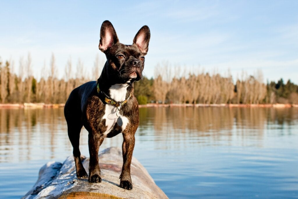 The Frenchton: All About this Breed