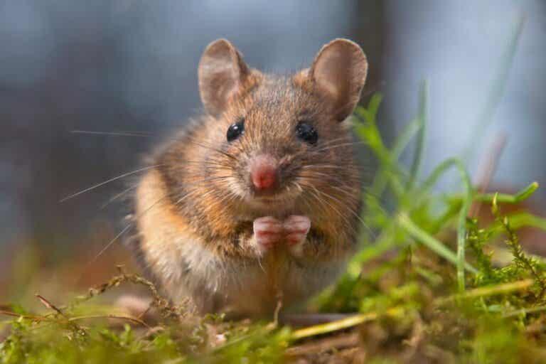 10 Curiosities About Mice