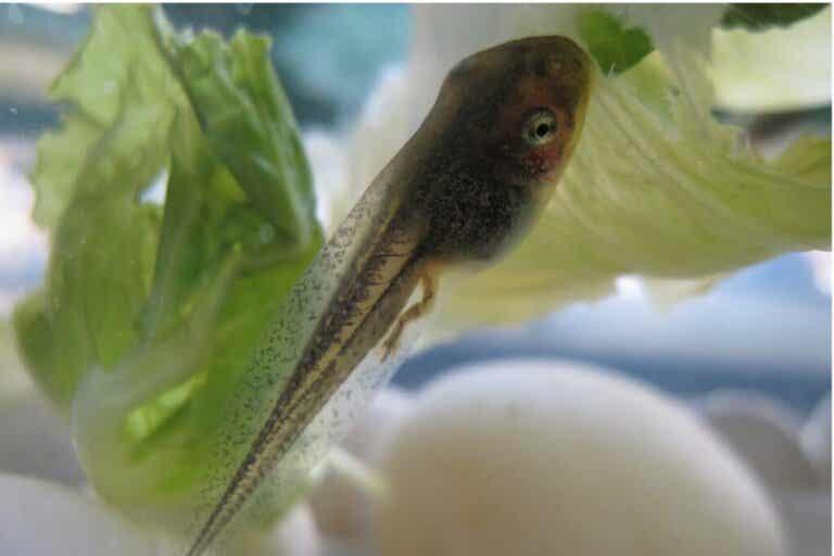 What Do Tadpoles Eat?