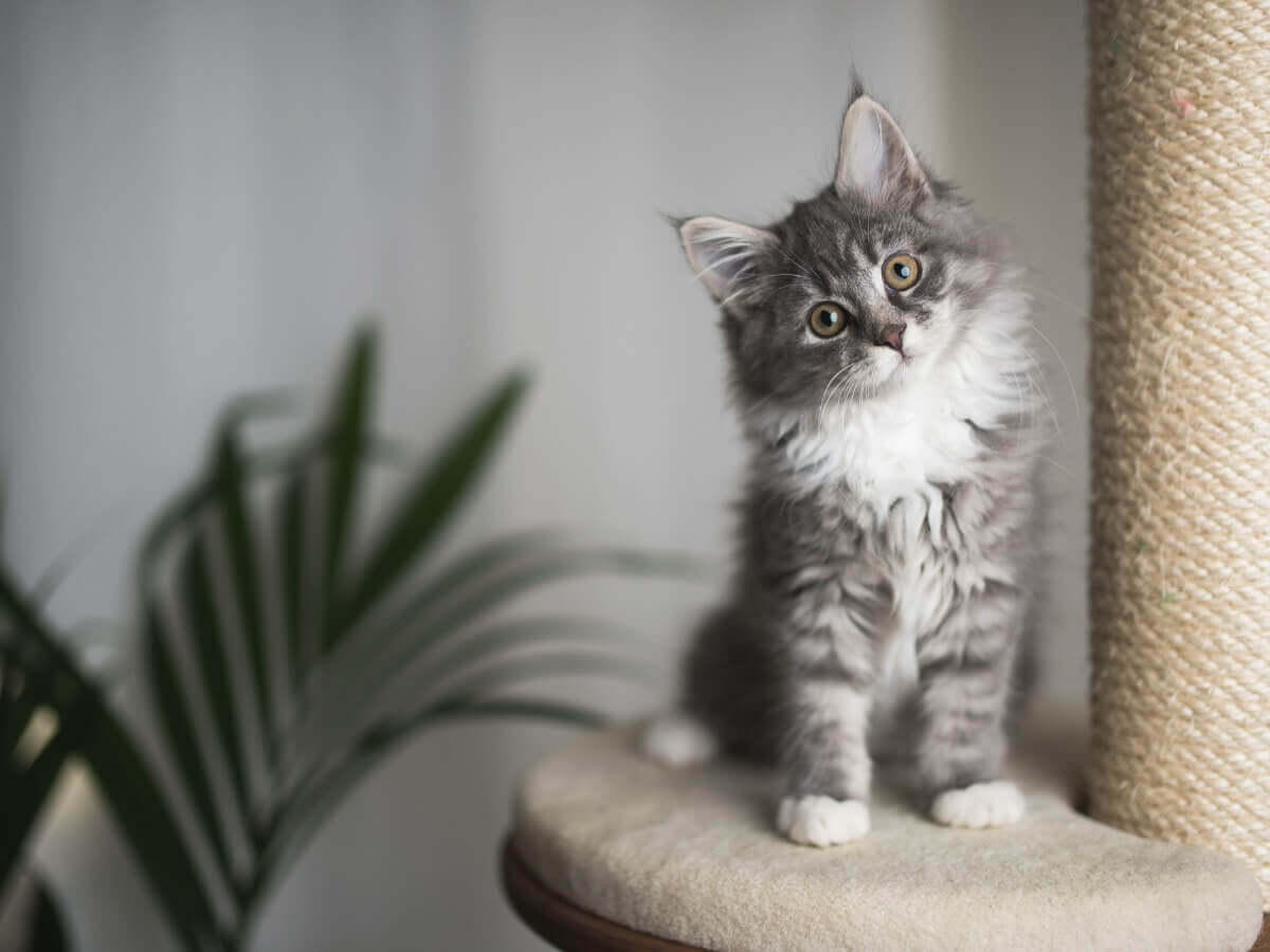 Kleine grijze kat