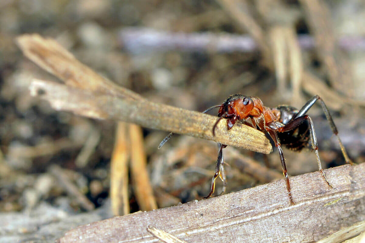 An ant carrying a small stick.