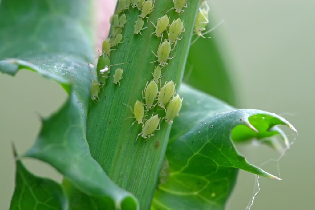 How to Get Rid of Aphids on Plants