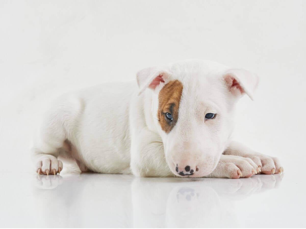A bull terrier puppy.