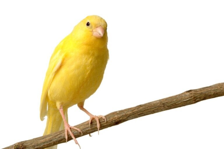 The Benefits of Broccoli for Canaries