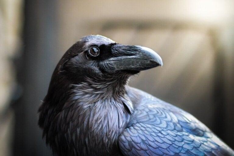 The Common Raven: Habitat and Characteristics