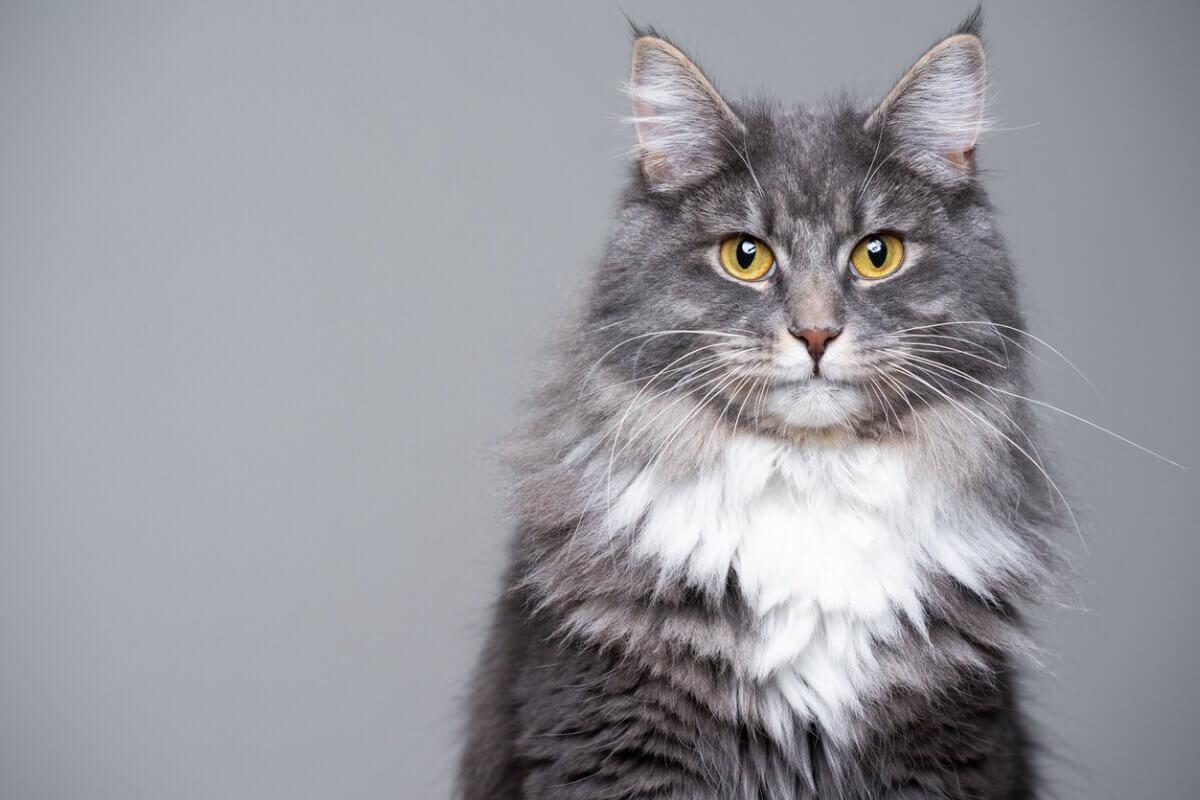 Grijze kat met lang haar