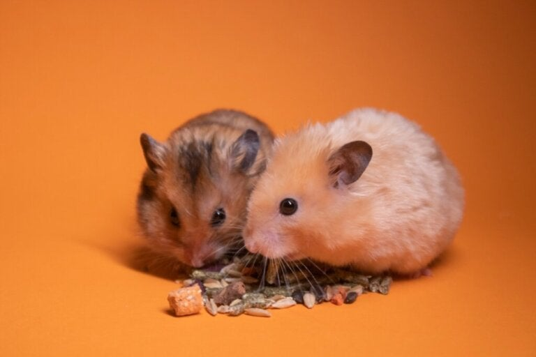 Is it Good to Have 2 Hamsters in the Same Cage?