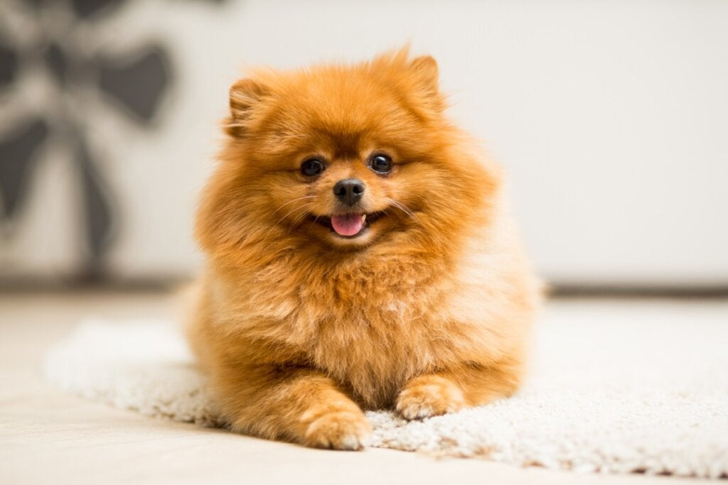 How to Care for the Pomeranian